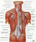 Anatomy-of-the-back