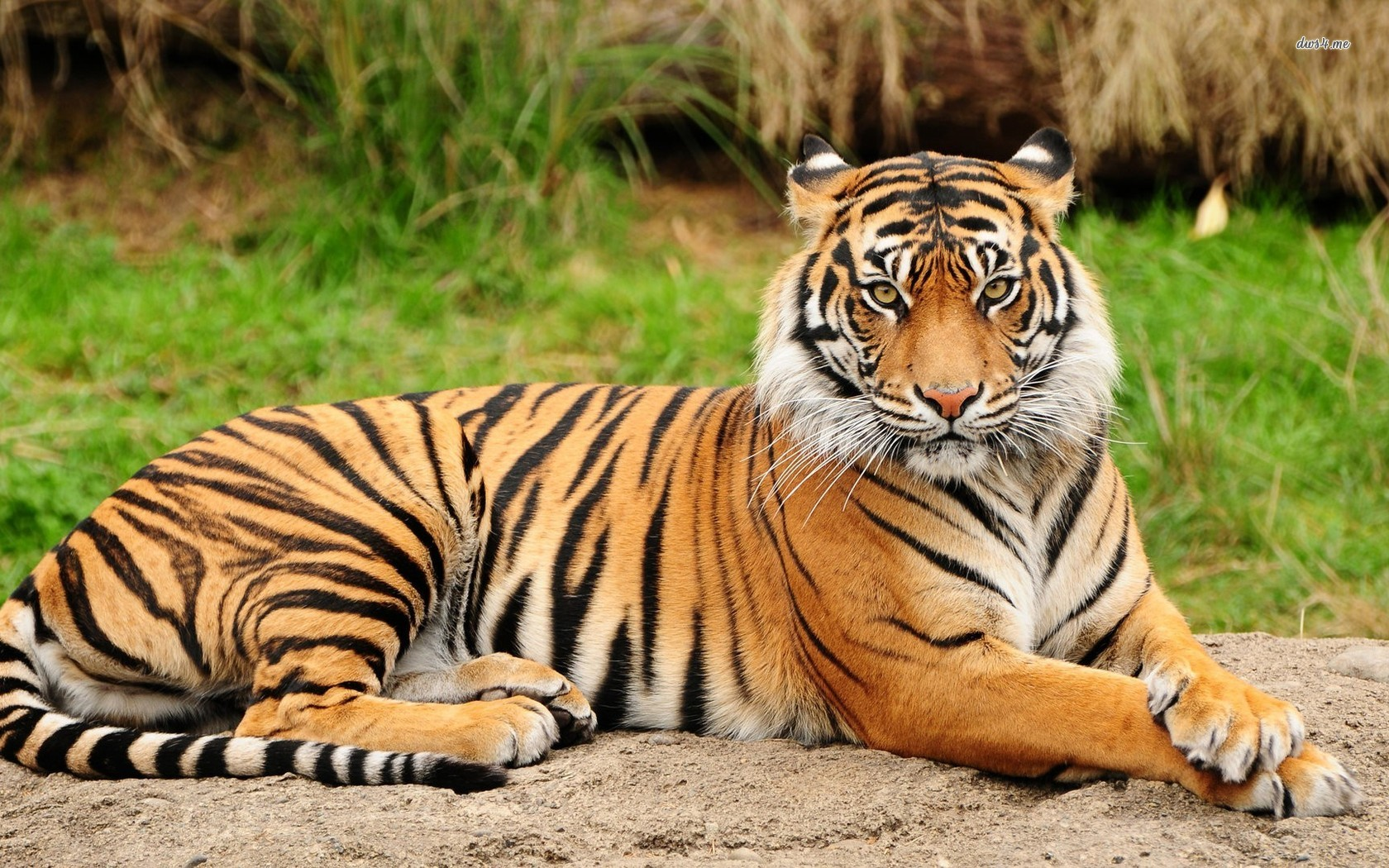 Tiger Blood Drworobec
